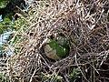 Myiopsitta monachus -Santiago, Chile -nest-8 (5).jpg