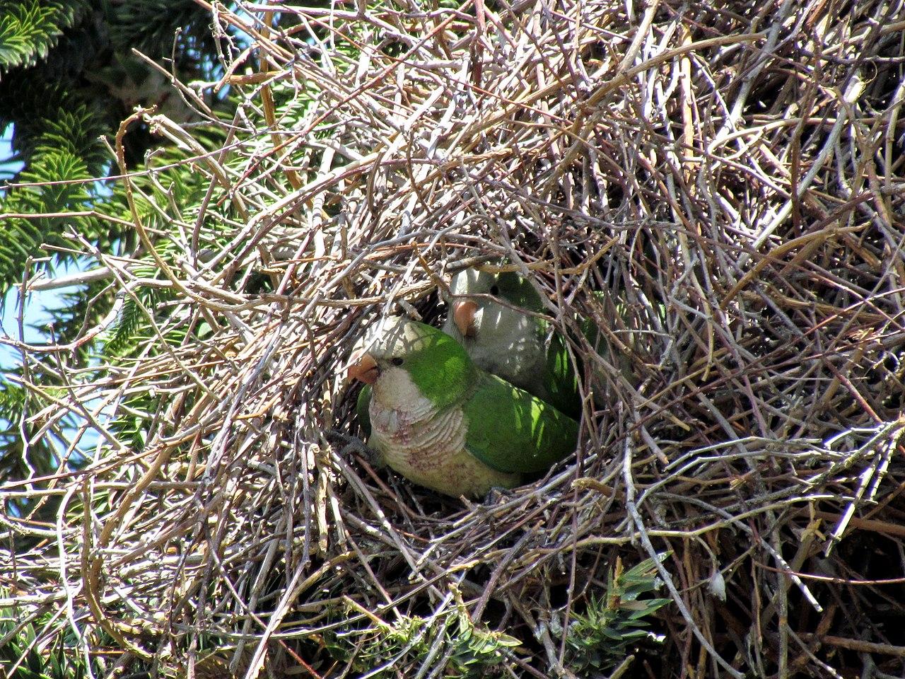 File Myiopsitta Monachus Santiago Chile Nest 8 5 Jpg