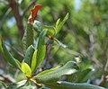 Myrica pensylvanica leaf (04).jpg