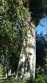 Myrtales - Eucalyptus dalrympleana 14.jpg