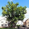 ND-7339-032-Eiche in Koengernheim.jpg