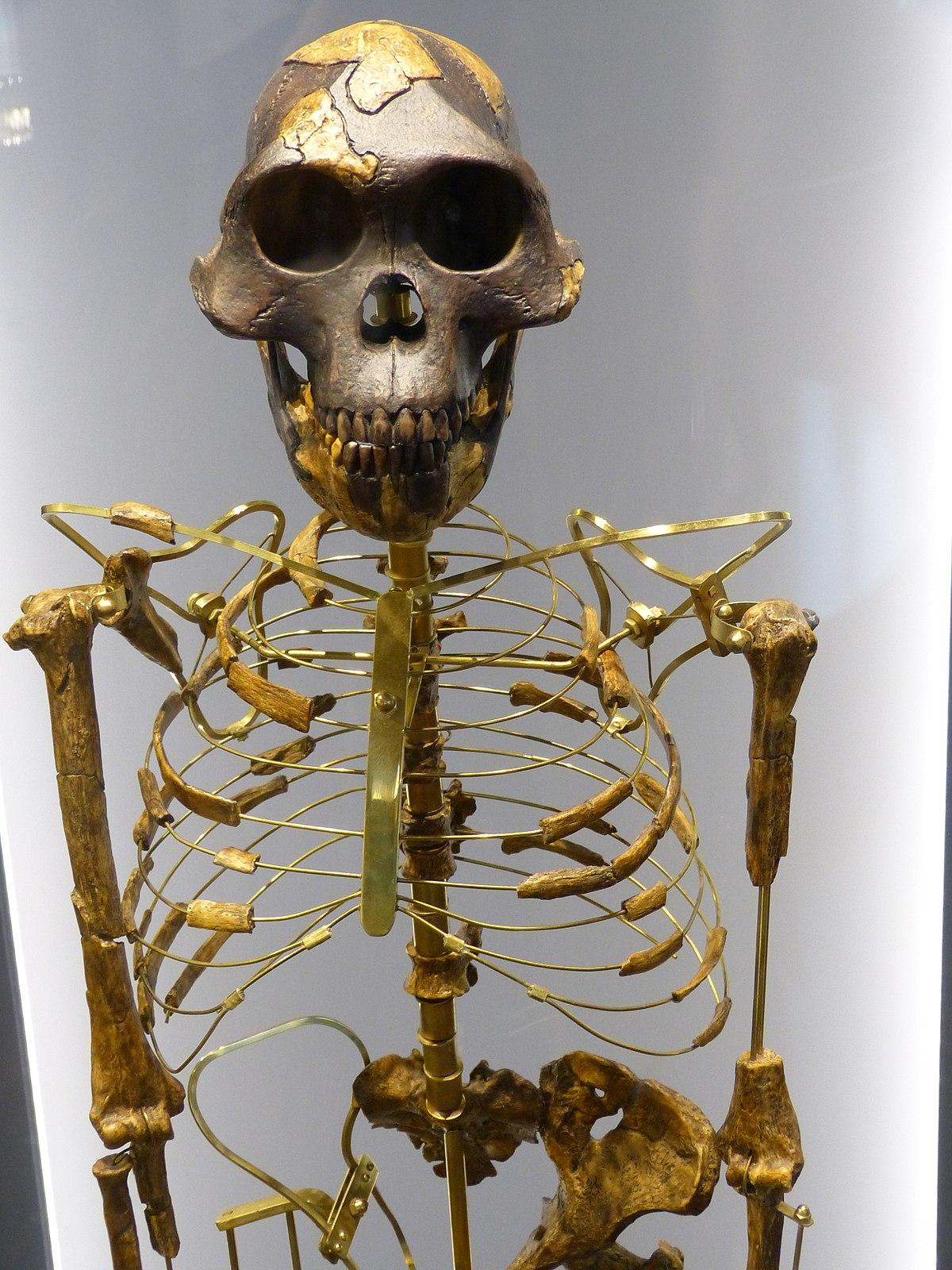Australopithecus afarensis – Wikipedia