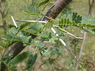 Stipule -    Stipular spines on the mesquite tree (Prosopis pallida)