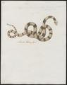 Naja lubrica - 1734-1765 - Print - Iconographia Zoologica - Special Collections University of Amsterdam - UBA01 IZ11800021.tif