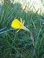 Narcissus bulbocodium close-up.JPG