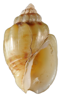 <i>Nassodonta dorri</i> species of gastropod