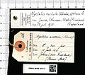 Naturalis Biodiversity Center - RMNH.MAM.3691.b gen - Nyctalus noctula - skin.jpeg