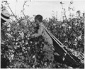 Near Eloy, Pinal County, Arizona. Child labor in the Arizona cotton harvest. Twelve-year-old. Does n . . . - NARA - 522024.tif