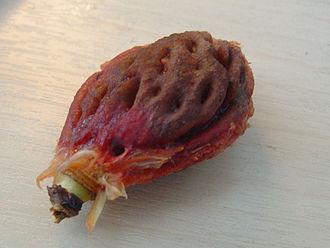 Drupe - Image: Nectarine stone