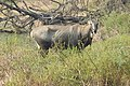 Neelgai Boselaphus tragocamelus by Dr. Raju Kasambe DSCN7671 (3).jpg