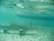 Lemon shark - Wikipedia, the free encyclopedia