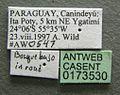 Neivamyrmex pilosus casent0173530 label 1.jpg