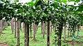 Nelliampathy Orange Farm - panoramio (5).jpg