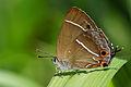 Neozephyrus taiwanus female.jpg