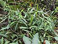 Nepenthes benstonei1.jpg