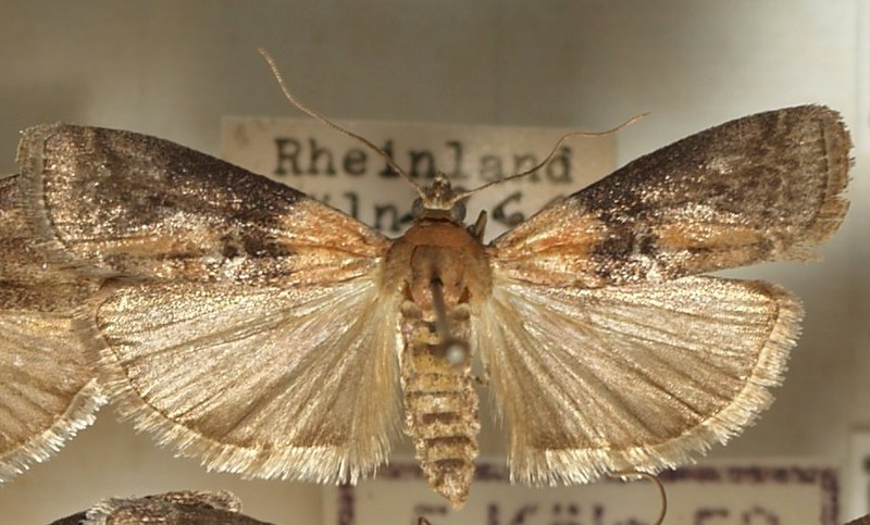 File:Nephopteryx.rhenella.mounted.jpg