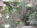 Nerium oleander - അരളി 05.JPG