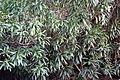 Nerium oleander 1 2014-03-26.jpg