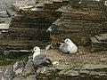 Nesting fulmar - geograph.org.uk - 550235.jpg