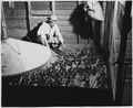 Newberry County, South Carolina. Inside view of one of the rooms of brooder house. All brooding i . . . - NARA - 522749.tif