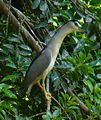 Night Heron stretched neck GizaZoo.JPG