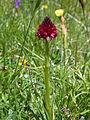 Nigritella nigra Binntal.jpg
