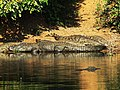 Nile Crocodile, Charara River Kariba Zimbabwe11.8.09.jpg