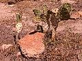 Nopal del Cerro - panoramio.jpg
