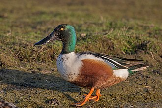 Northern shoveler - Male