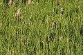 Northern Lapwing (Vanellus vanellus) (30422098464).jpg