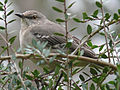 Northern Mockingbird USA.jpg