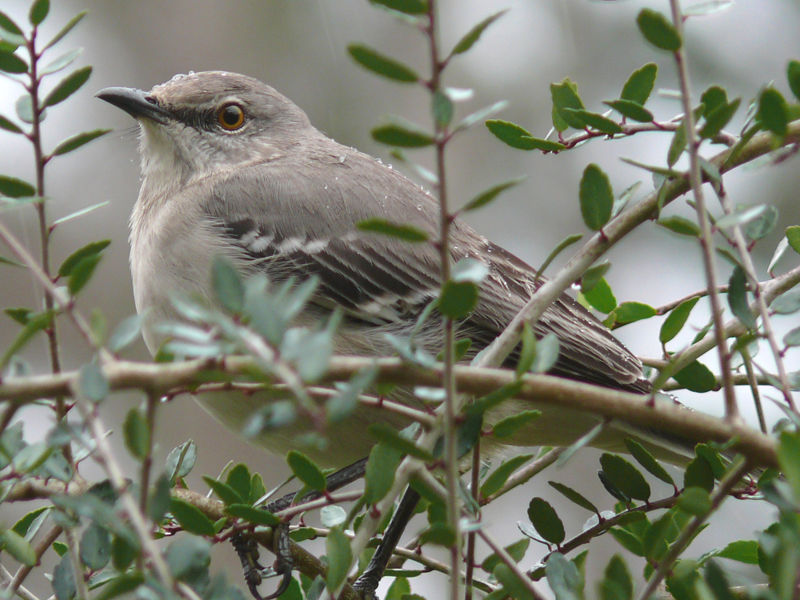 File:Northern Mockingbird USA.jpg