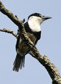 Notharchus swainsoni - Buff-bellied puffbird.jpg