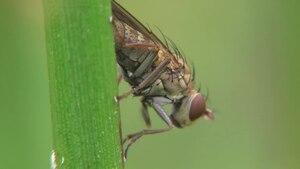 File:Notiphila stagnicola - 2014-06-07.webm