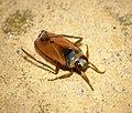 Notonecta glauca (29705232687).jpg