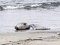 Nursing Harbor Seal pup.jpg