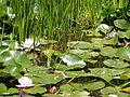 Nymphaea botanic garden athens greece.JPG