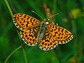 Nymphalidae - Boloria (Clossiana) dia.JPG