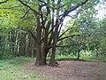 Oaks in Bitsa Park, Moscow 01.jpg