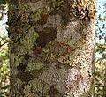 Ocotea spixiana trunk.jpg