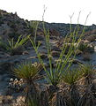 Ocotillo (Fouquieria splendens); Lost Palms Trail.jpg