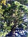 October Giant Redwood Neuershausen - panoramio (2).jpg