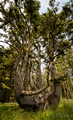 Octopus Tree, Cape Meares, Oregon.png