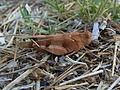 Oedipoda caerulescens CBTha015.JPG