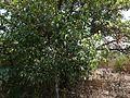 Olea dioica Roxb. (2395521529).jpg