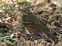 The olive-backed pipit has a supercilium drop.
