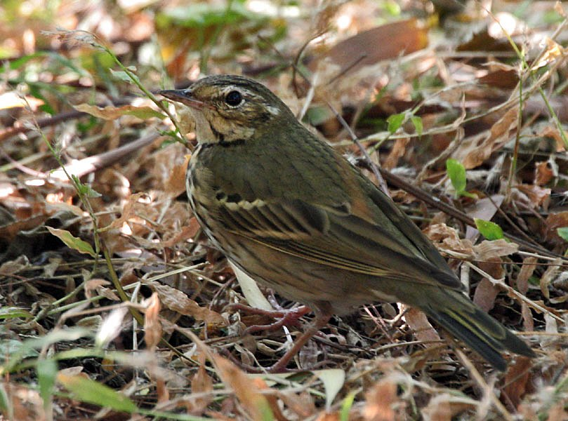 Olive-backed Pipit- Kolkata I IMG 9872