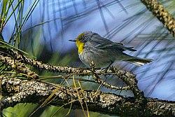 Olive-capped Warbler, Cuba 1.jpg