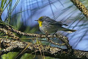 Description de l'image Olive-capped Warbler, Cuba 1.jpg.