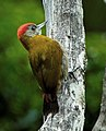 Olive Woodpecker - South Africa, crop.jpg